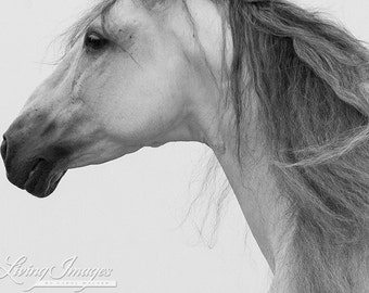 Andalusian Stallion's Profile - Fine Art Horse Photograph - Horse - Andalusian - Fine Art Print - Black and White