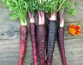 SALE Purple Dragon Carrots Variety Organically Grown Orange Centers Rare Open Pollinated Seeds