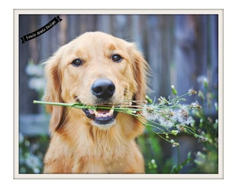 Golden Retriever-Dandelion- Photography Print