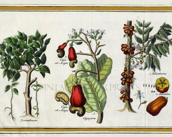 Cinnamon Tree, Cashew and Bilimbeira, Antique Botanical Engraving by J.Y.Schley. 18th Century Engraving Hand Coloured in Watercolour.