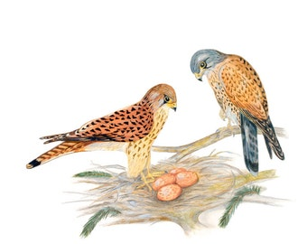 LIMITED EDITION of a Falco tinnunculus Couple Guarding their Nest, Kestrels, Kestrel, Birds of Prey, Bird Art Print of Drawing, Detailed