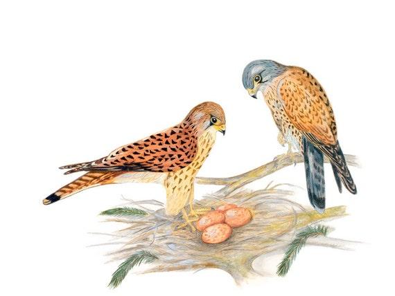 LIMITED EDITION of a Falco tinnunculus Couple Guarding their Nest, Kestrels, Kestrel, Birds of Prey, Bird Art Print of Drawing, Detailed