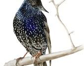 Starling II, watercolour print, wall art,bird paintings, starling watercolour, wildlife painting, bird watercolour