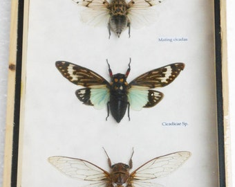 3 Real CICADA Beetle Insect Taxidermy Collectible in wood box / ci07p