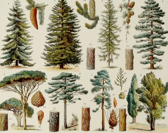 1900 TREES, antique fine lithograph. Forest trees. Fruit trees. 116 years old print