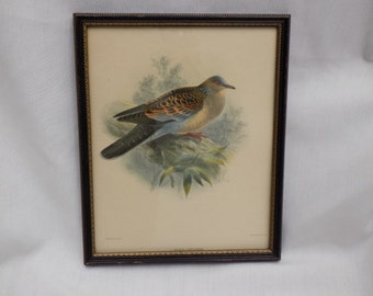 "Antique J G Keulemans Hand Colored Signed Lithograph "" Asiatic Turtledove ""  Victorian Bird Artist - Hanhart - 1 of 2 Framed Ornithology"