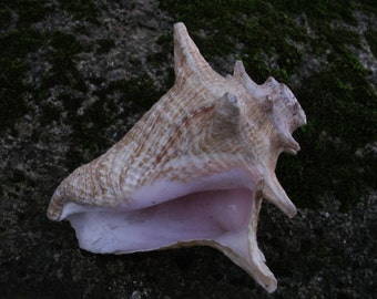 Small Blowing Conch / Shell Trumpet