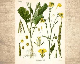 Black Mustard Botanical Illustration - giclee print, choose your size - Botanicals, Vintage, Illustrations, Poster, Art, Decor, Botany