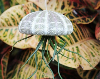"Air Plant Tillandsia ""Jellyfish"""