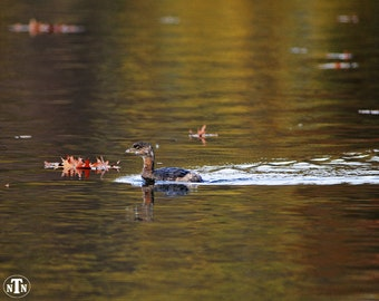 Pied-Billed Grebe, Nature Photography, Duck, Fall Colors, Reflection, Brown, Fine Art, Waterfowl, Water, Leaves
