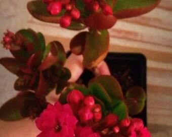 Double Hot Pink Kalanchoe Plant