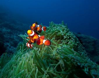 Nemo Clown Fish Family and Green Anemone - Underwater Photography - Clown Fish Photography - Finding Nemo decor - Large Wall Art