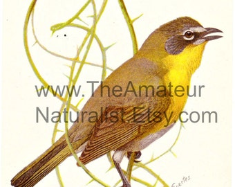 Vintage Bird Illustration, Yellow-Breasted Chat, Antique Print, Digital Download