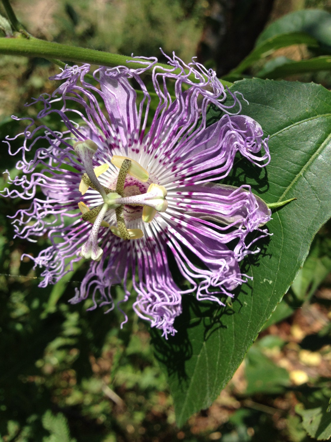 Passion Flower Herbal Tincture 2 oz anxiety stress