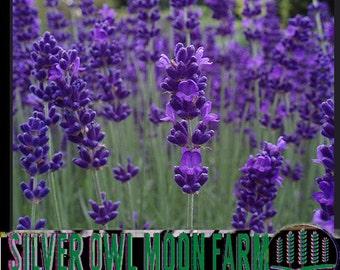Vera Lavender - hardy perennial  flowers 30+ seeds