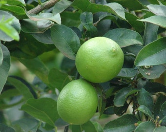 Lime Tree seeds,365, lime fruit, lime tree from seeds,seeds for lime tree,mochito fruit