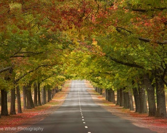 Autumn arch, Landscape photography, Fine Art print, Ready to frame, Australian, Trees, Morning, Light, Red leaves
