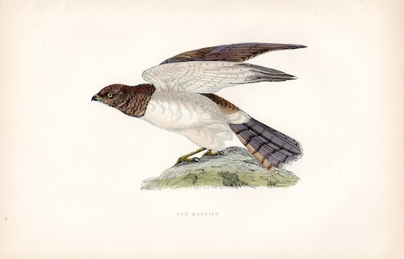 Hen Harrier 1892 Antique Bird Print Morris Birds Vintage Bird