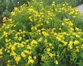 St. John's Wort- 250 Seeds
