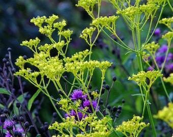 Patrinia scabiosifolia (Golden Lace) [30 Seeds]