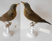 Fieldfare circa 1880 - Taxidermy bird