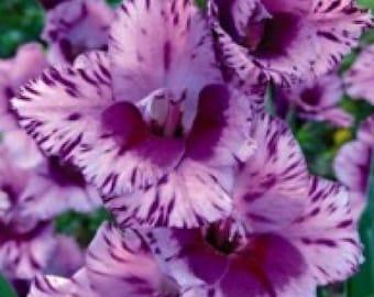 5 Gladiolus Passos bulbs