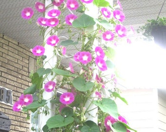 """Garden 50 pink morning glory seeds - 50 seeds of """"Pink morning glory"""" for the garden"""