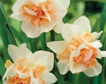Daffodil Replete Kit
