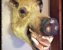 Boar Head, vintage Taxidermy specimen. Hog, pig, Man-Cave!