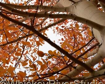 Fall Aspen Tree w/ Red Foliage print. Autumn, Canvas photo print. Canvas Photography. Wall Art. 8x10, 11x14, 16x20, 20x24.