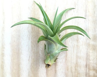 Custom List for Kim - 20 Tillandsia brachycaulos