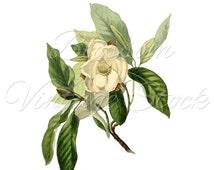 Magnolia Botanical Print, Clipart Flower, White Magnolia INSTANT DOWNLOAD Vintage illustration, Digital Image, Clipart, Printables - 1365