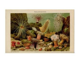 1894 ANTIQUE SEA ANEMONES lithograph original antique marine life ocean beach print