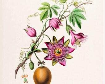 antique french botanical print passion flower passion fruit illustration digital download