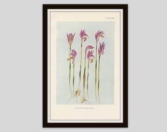 Antique Botanical Print, Dragon's Mouth Orchid, Cottage Decor, Wildflower Art, Victorian Original Print, Vintage Flower Print, Plate CXXXVI