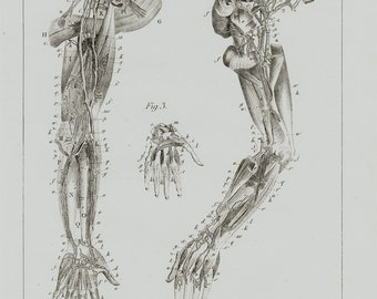 1834 Antique print of ANATOMY,  veins of the arm and hands