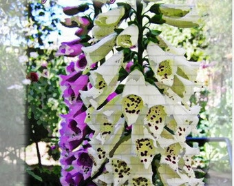Fantastic Foxglove Mix (digitalis)  Flower Seeds