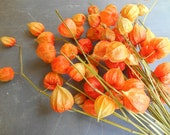 Bunch of Real Chinese Lanterns: Natural Fall Autumn Decor Physalis Stems of Japanese Lanterns Dried Bright Orange Seed Pods Floral Supplies