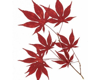 Set of 6 Notecards -  Pressed Flower Cards - Japanese Maple Leaves #020
