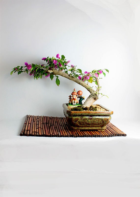 Bougainvillea Winter Care What To Do With A Bougainvillea: Bougainvillea Bonsai Tree Winter Tropicals Collection