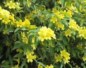 25 Yellow Jasmine Seeds Arabian jasmine Mirabilis Buy 1 Get 1 FREE+ FREE Shipping