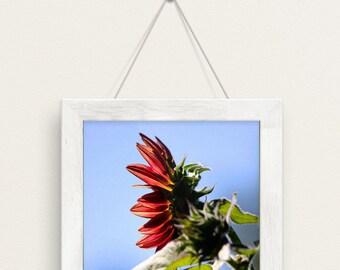 sunflower, red, fall, autumn, flowers, green meadows farm, south hamilton, massachusetts, photography, fine art print