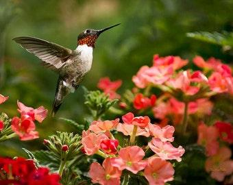 Hummingbird Art, Bird Photography, Hummingbird Photo, Bird Wall Art, Photos of Hummingbirds, Nature Print, Fine Art Photography, Wall Art