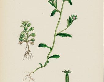 1873 Botanical, antique flower print, Small-flowered Venus'-looking-glass