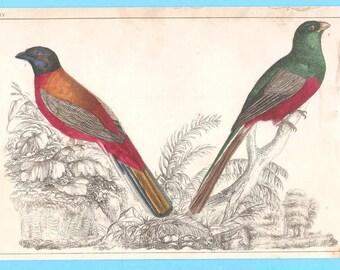 Antique birds (LXIV)  illustration