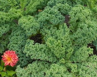 Dwarf Curled Scotch Kale - 100 seeds (Organic/non-GMO)