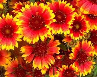 Firewheel - Gaillardia pulchella (250 seeds)