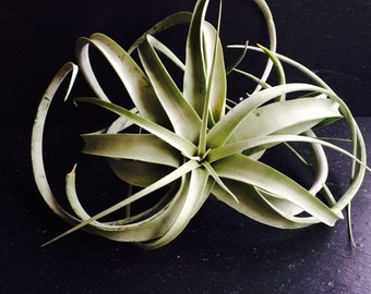 Tillandsia Xerographica Medium Air Plant