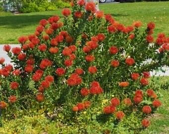 Leucospermum Cordifolium ' Orange ' - 6 Seeds - Pincushion Protea