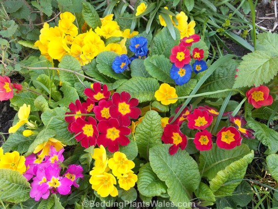 WINTER  PRIMROSE RAINBOW colour mixed primula Perennial cottage garden plants plug flower red pink yellow blue purple orange lilac #primrose